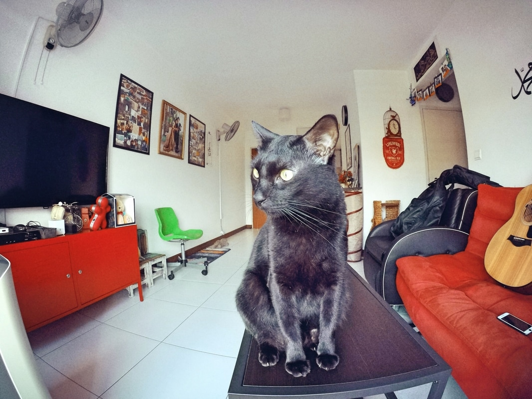 Kiko The Cat Bombay Cat Asian Cat Malayan Cat Gopro 5 hero Photo Picture Photography